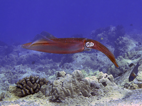 The pencil squid, uncamouflaged. Photo by Steve Dunleavy.