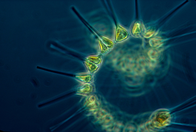 Phytoplankton: foundation of the ocean's food web...and possibly of life's origins? Photo courtesy of NOAA via flickr Creative Commons.