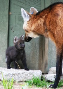 Captive wolf and pup, Creative Commons license