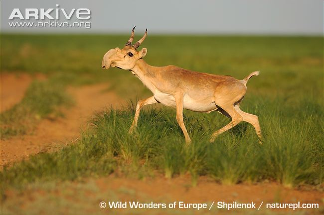 Male-saiga-antelope-running