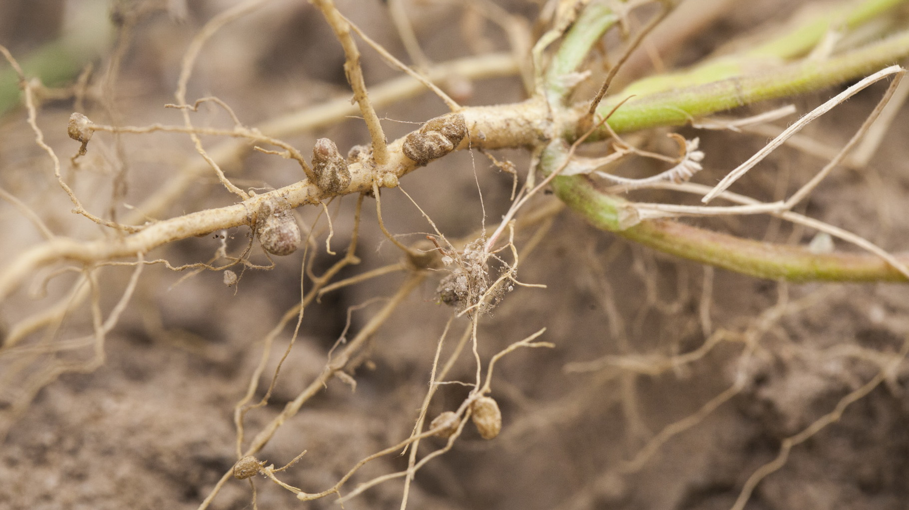 Nodules - small, rounded bumps - on the roots of a soybean plant. These nodules contain nitrogen-fixing bacteria that can produce nitrogen compounds from atmospheric nitrogen for the plant. Photo courtesy of user Terraprima on Wikimedia Commons.