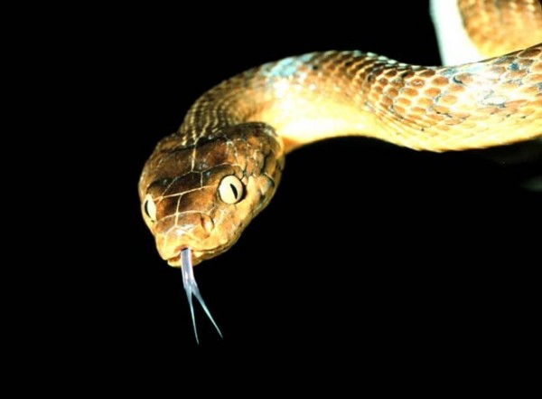 The invasive brown tree snake should really watch what it eats... Photo courtesy of USGS