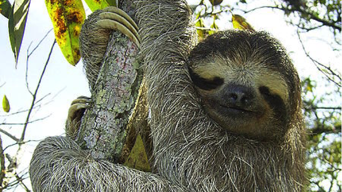 The three-toed sloth, a tree-dwelling mammal from the rainforests of Central and South America.  Photo by Stefan Laube