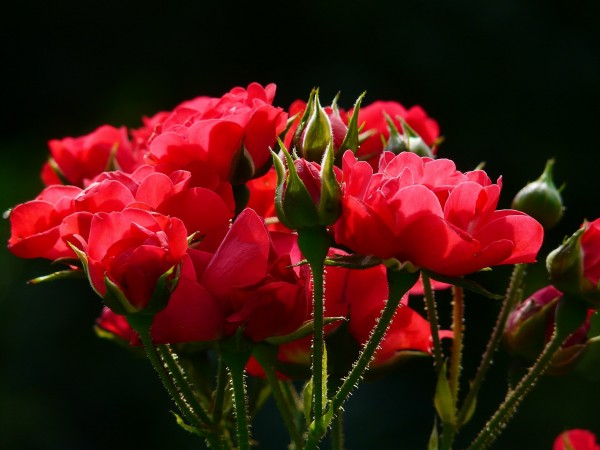 Roses use their thorny exteriors to fend off herbivores.
